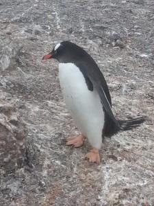 antarktis-pinguine-galerie-05