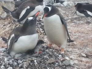antarktis-pinguine-galerie-14